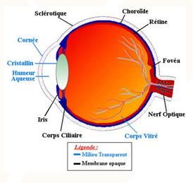 Anatomie de l'oeil - Cours PSE gratuit BAC PRO