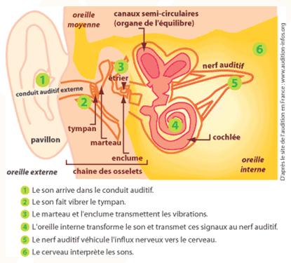 Anatomie et physiologie de l'oreille - Cours PSE gratuit BAC PRO