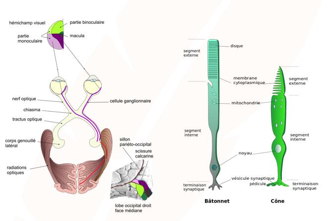 système visuel - cellules photéreceptrices de la rétine